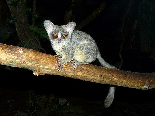 photo Galago senegalensis / Northern lesser bushbaby