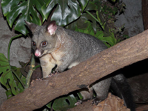 Common brush-tail possum