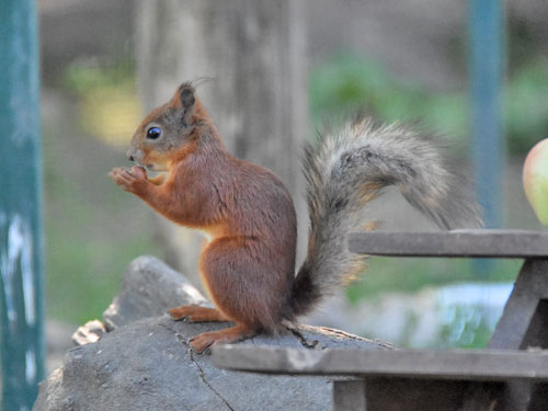 photo Sciurus vulgaris / Eurasian red squirrel