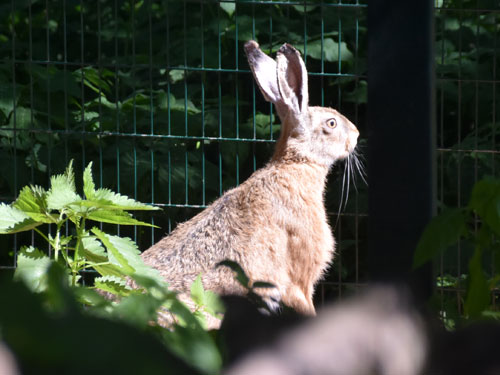 photo European brown hare / <span class='cursive'>Lepus europaeus</span>