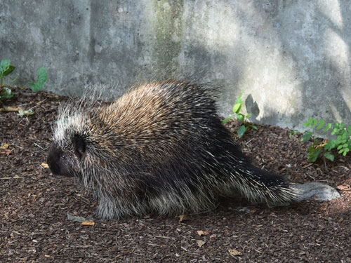 photo Erethizon dorsatum / North American porcupine