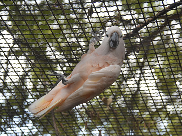 Salmon-crested cockatoo