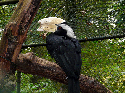 photo Black hornbill / <span class='cursive'>Anthracoceros malayanus</span>