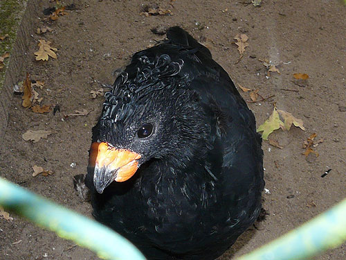 Red-billed curassow