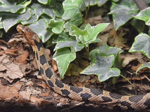 photo Eastern fox snake / <span class='cursive'>Pantherophis vulpinus</span>