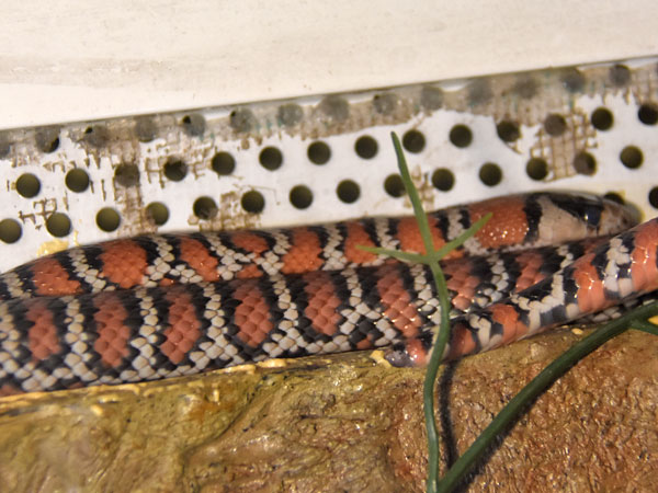 photo Chihuahuan mountain kingsnake / <span class='cursive'>Lampropeltis pyromelana knoblochi</span>