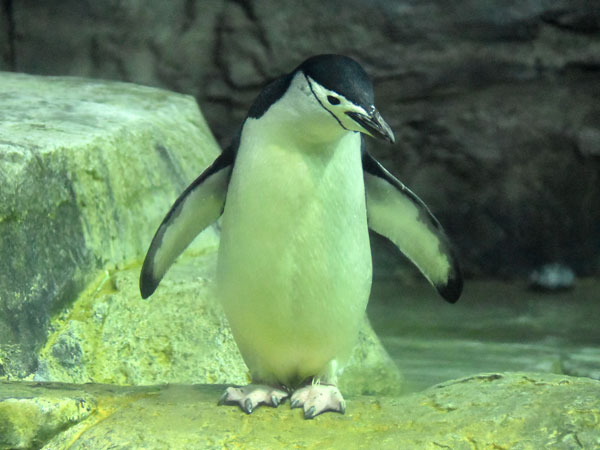 photo Chinstrap penguin / <span class='cursive'>Pygoscelis antarcticus</span>