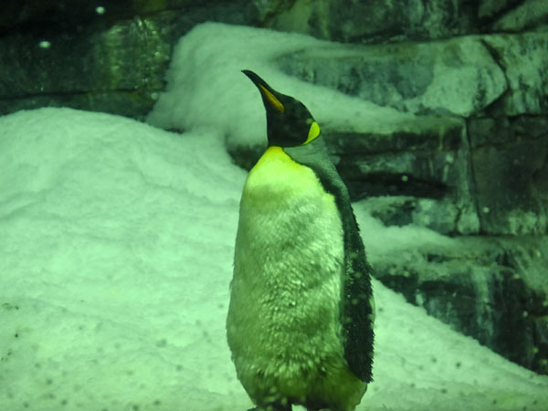 photo King penguin / <span class='cursive'>Aptenodytes patagonica</span>