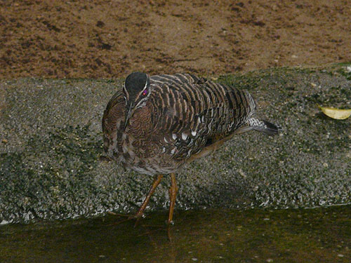 photo Sunbittern / <span class='cursive'>Eurypyga helias</span>