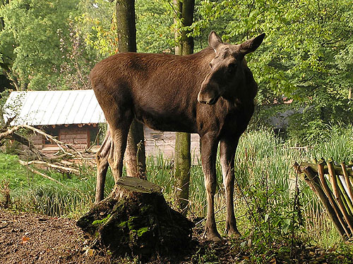 photo European elk / <span class='cursive'>Alces alces alces</span>