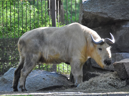 photo Budorcas taxicolor bedfordi / Golden takin