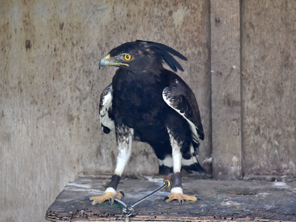 photo Long-crested eagle / <span class='cursive'>Lophoaetus occipitalis</span>