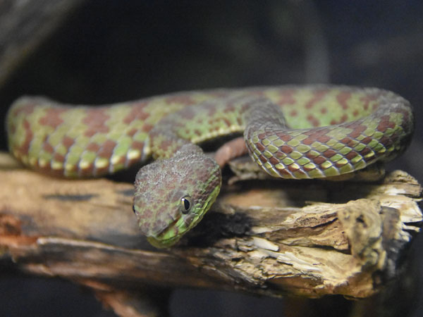 photo Beautiful pitviper / <span class='cursive'>Trimeresurus venustus</span>