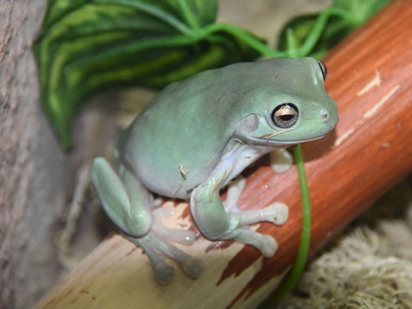 Green tree frog / Litoria caerulea<br> Total: 54