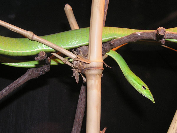 photo Green tree snake / <span class='cursive'>Ahaetulla nasuta</span>