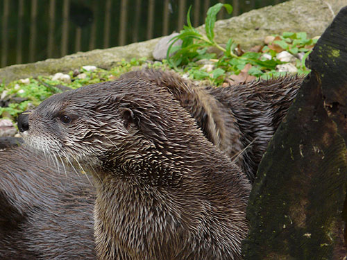 photo North American river otter / <span class='cursive'>Lontra canadensis</span>