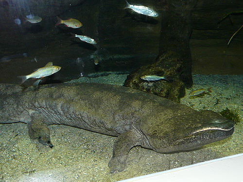 photo Chinese giant salamander / <span class='cursive'>Andrias davidianus</span>