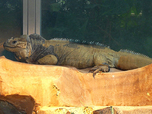 photo Rhinoceros iguana / <span class='cursive'>Cyclura cornuta cornuta</span>