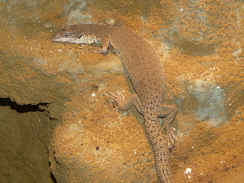 Stripe-tailed pygmy monitor