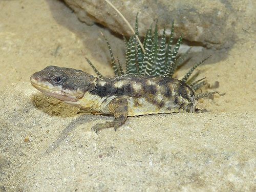 Rough-scaled girdle-tailed lizard