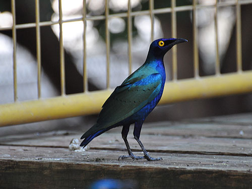 photo Purple glossy starling / <span class='cursive'>Lamprotornis purpureus</span>