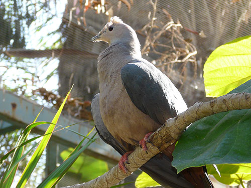 Pink-headed imperial pigeon