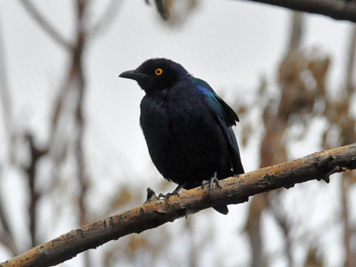 photo Lesser blue-eared starling / <span class='cursive'>Lamprotornis chloropterus</span>