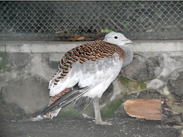 photo Great bustard / <span class='cursive'>Otis tarda dybowskii</span>