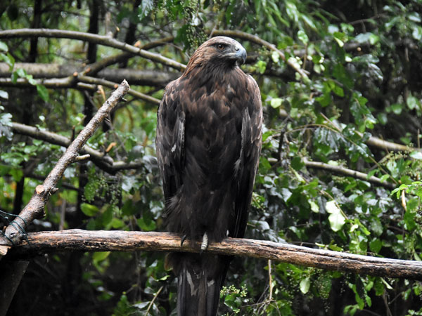 European golden eagle