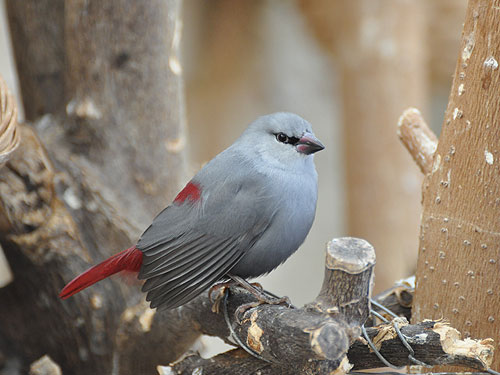 photo Lavender waxbill / <span class='cursive'>Estrilda caerulescens</span>