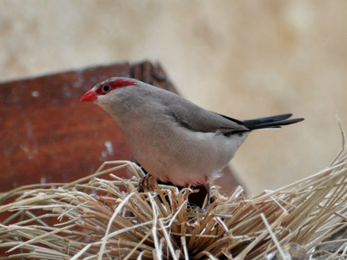 Black-rumped waxbill