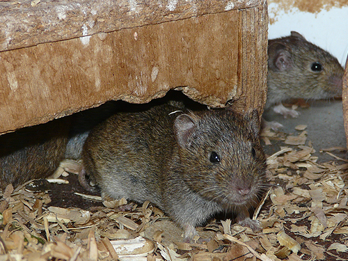 photo Gunther's vole / <span class='cursive'>Microtus guentheri philistinus</span>