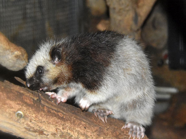 Northern Luzon giant cloud rat