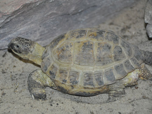 photo Central Asian tortoise / <span class='cursive'>Testudo horsfieldii</span>