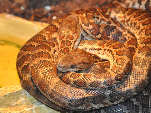 photo Island boa / <span class='cursive'>Epicrates striatus</span>
