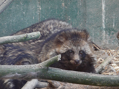 photo Raccoon dog / <span class='cursive'>Nyctereutes procyonoides</span>