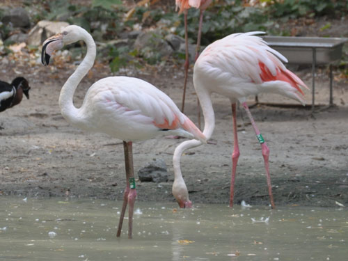 photo Greater flamingo / <span class='cursive'>Phoenicopterus roseus</span>