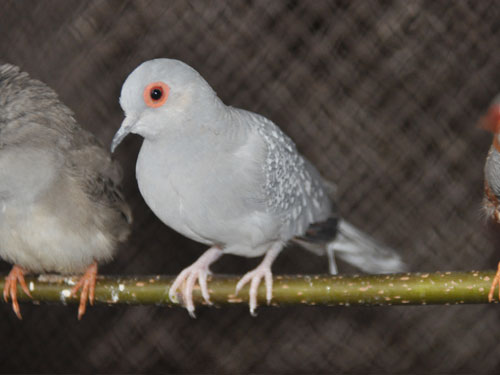 photo Diamond dove / <span class='cursive'>Geopelia cuneata</span>
