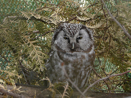 photo Boreal owl / <span class='cursive'>Aegolius funereus</span>