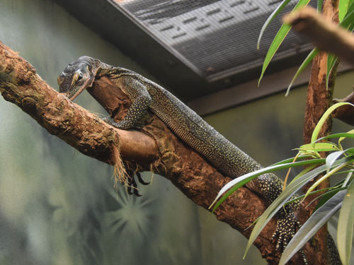 Peach-throated monitor