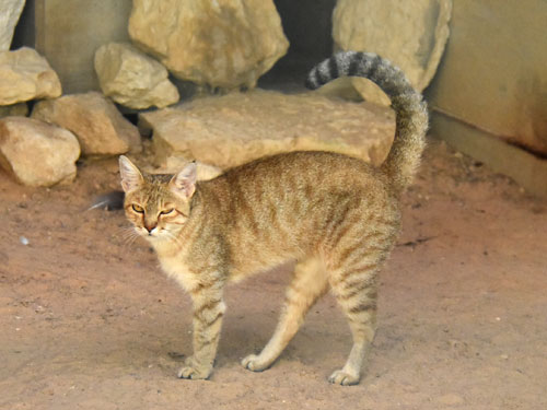 photo Felis silvestris tristrami / Wild cat