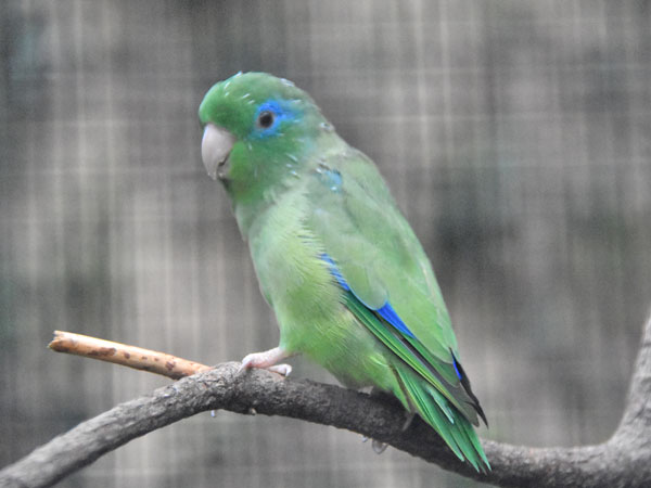 Spectacled parrot
