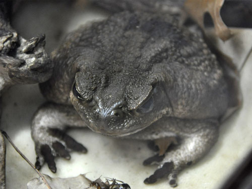 photo Giant marine toad / <span class='cursive'>Rhinella marina</span>
