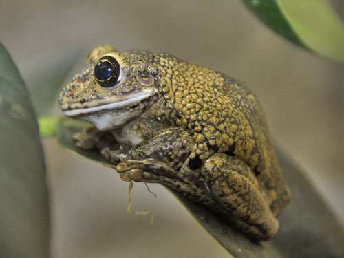photo Black-spotted casque-headed treefrog / <span class='cursive'>Trachycephalus nigromaculatus</span>