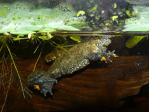 photo European fire-bellied toad / <span class='cursive'>Bombina bombina</span>