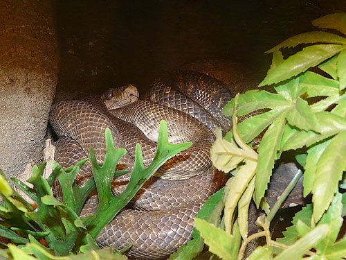 photo Garden tree boa / <span class='cursive'>Corallus hortulanus</span>