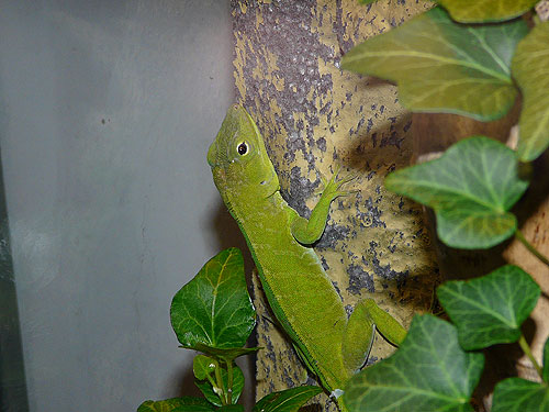 photo Jamaican giant anole / <span class='cursive'>Anolis garmani</span>