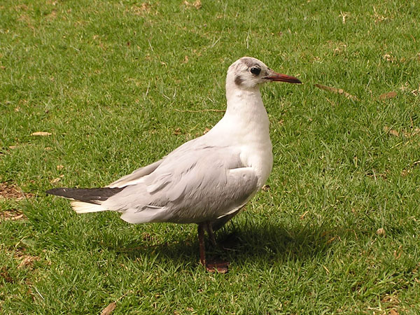 photo Black-headed gull / <span class='cursive'>Larus ridibundus</span>