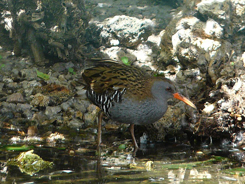 photo Water rail / <span class='cursive'>Rallus aquaticus</span>
