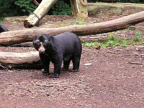 photo Spectacled bear / <span class='cursive'>Tremarctos ornatus</span>